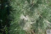 161229.pinus.pinea 025