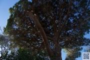 161229.pinus.pinea 027