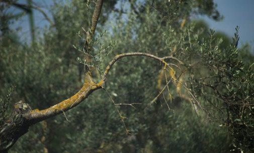 L'olivo: imparare a potarlo