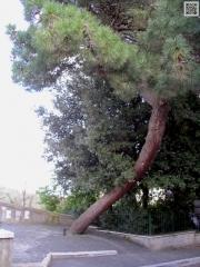 Il pino storto (2008)