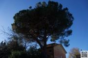 161229.pinus.pinea 022