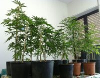 """A Cesano, """"Pizzicati"""" studenti universitari che producevano marijuana in un condominio!"""